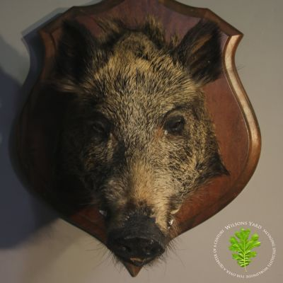 Antique French Boars head.