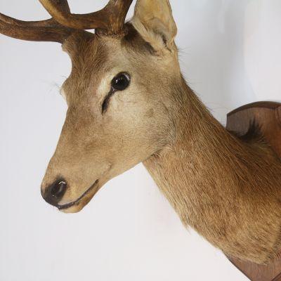 Fine quality stags head on Oak mount
