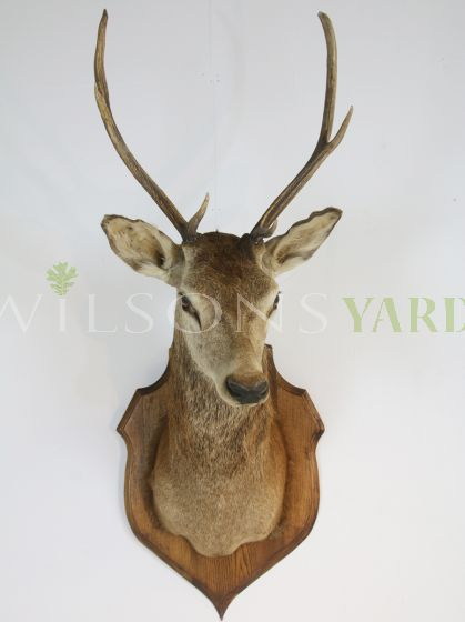 Antique hunting stags head Ireland