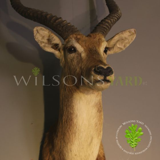 Antique African buck head