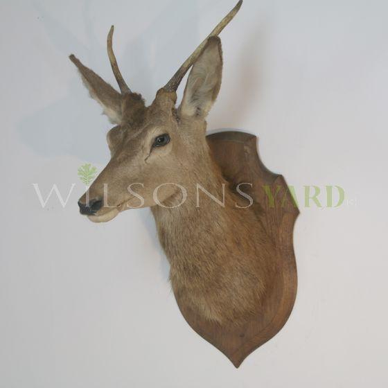 Vintage deer head on mount