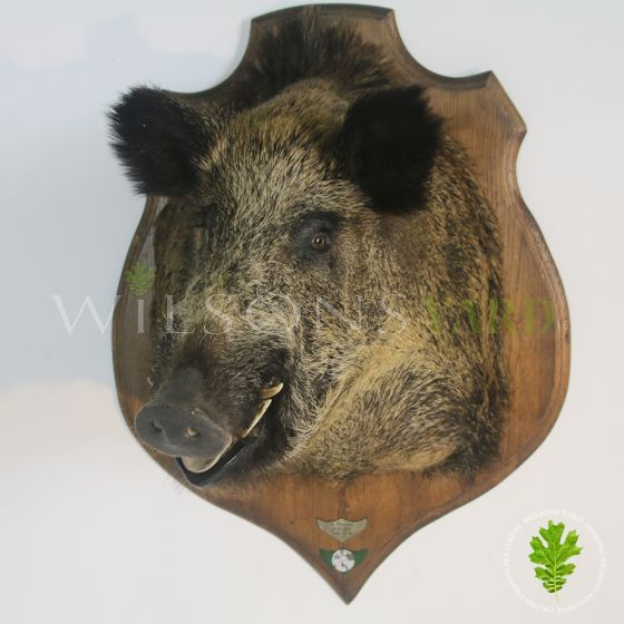 Vintage wild boar head on Oak mount